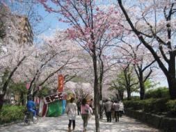 桜舞う隅田公園周辺でお花見を楽しみませんか?