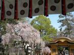 桜咲く大國魂(おおくにたま)神社
