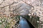 【目黒川桜のトンネル散策】=圧巻の桜景色!都内最大級の桜回廊へご案内!