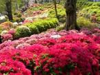 根津神社の境内にあるつつじ苑でつつじまつり開催!