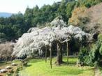 樹齢約340年、高さ約13mの紹太寺しだれ桜